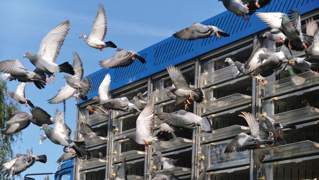 Behaviour management and pigeon racing