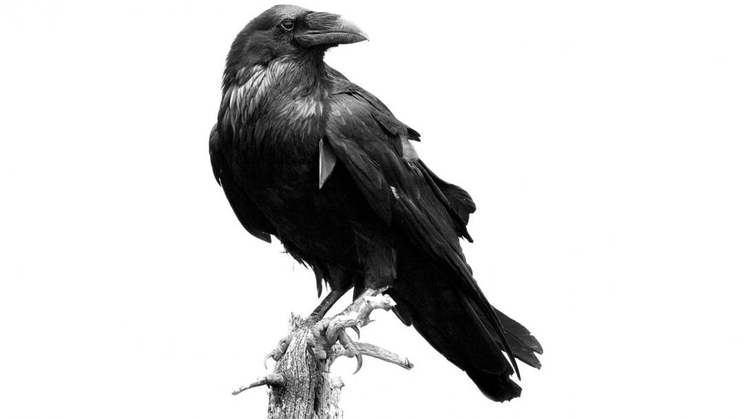Raven on a branch - poetry curriculum GCSE wellbeing teenagers