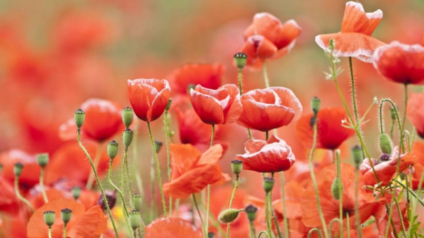 Poppies To Represent Remembrance Day Resources For EYFS, Primary Pupils
